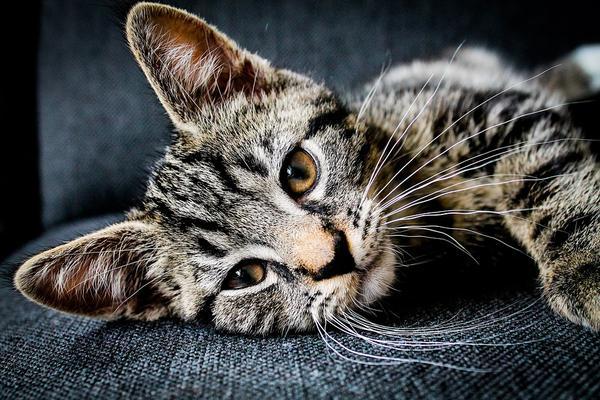 Karma Canagan dla kotów